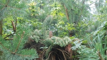 30-07-2016 19:05 Hodował marihuanę w ukryciu. Dokładnie... na szczycie drzewa