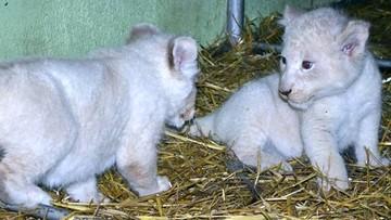 01-06-2016 13:34 Białe lwy ze Świerkocina mają imiona. Konkurs rozstrzygnięty