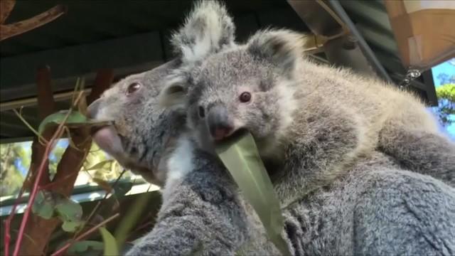 Misie koala poznają świat. Przyszły na świat w australijskim Zoo