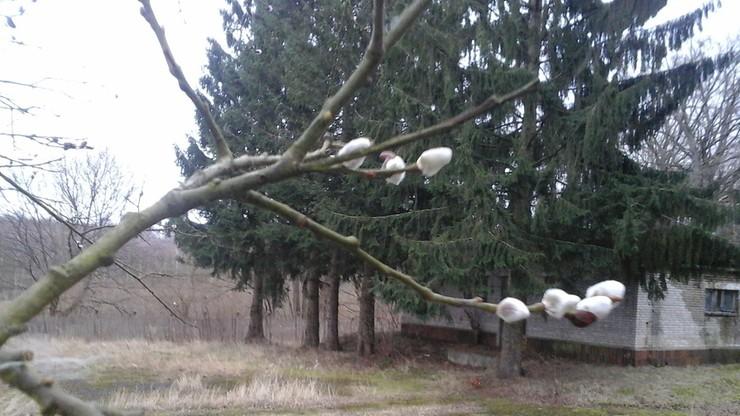 To już wiosna? Zakwitły bazie, przyleciały dzikie gęsi i żurawie
