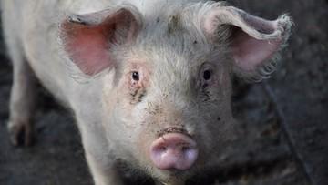30-08-2017 12:22 Ukraina wprowadziła zakaz importu świń i wieprzowiny z Mazowsza i Lubelszczyzny