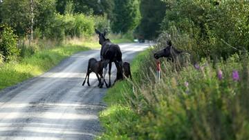 24-08-2017 17:27 Łosie powodują wypadki - twierdzą radni z Grajewa i chcą ich odstrzału. Za dużo też dzików, bobrów i saren - mówią