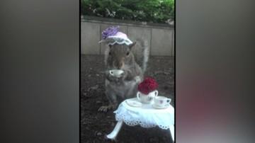 Oswojona wiewiórka pozuje do zdjęć. Ma strój na każdą okazję