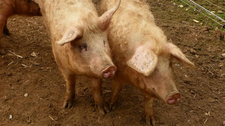 Węgierski europoseł: świńskie głowy na granicy odstraszą uchodźców