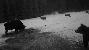 08-02-2017 14:58 Bieszczady: żubr, niedźwiedź i trzy jelenie na jednym zdjęciu z fotopułapki