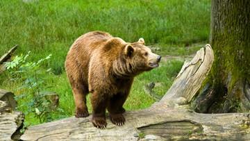 03-02-2016 07:41 Bieszczady: obudziły się niedźwiedzie. Mogą być groźne