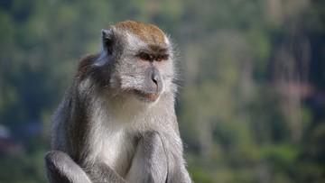 04-08-2017 22:25 Mobilizacja w Indonezji. Zgoda na odstrzał setek makaków