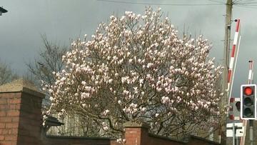 2017-03-21 Kwitnąca magnolia