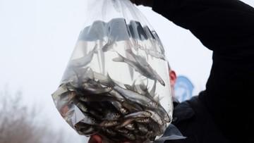 23-11-2016 14:36 Wpuścili do Warty około miliona ryb. Odtwarzają ekosystem rzeki sprzed jej zatrucia