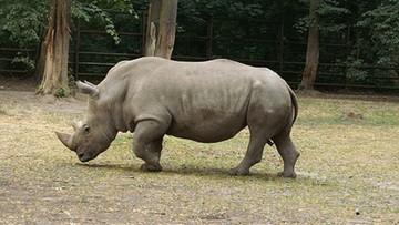 09-08-2016 17:35 Pradziejowy nosorożec odkryty pod Gorzowem Wielkopolskim. Pierwszy taki przypadek w Polsce