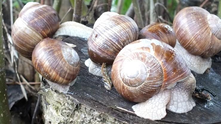 Ślimaki z Mazur trafiają do Francji i Włoch. Skup znowu możliwy