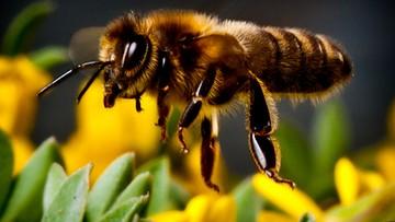 08-08-2016 14:45 Praca pszczół w Polsce warta jest 4,1 mld zł. Zapylanie upraw oszacował Greenpeace
