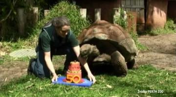20-09-2016 16:50 50 lat minęło. Jeden z największych żółwi świata ma już pół wieku