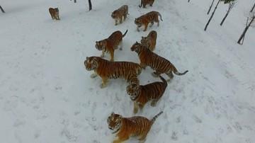 24-02-2017 19:55 Polowanie na drona. Tak wygląda odchudzanie tygrysów z chińskiego ZOO