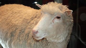 04-07-2016 13:50 Owieczka Dolly przyszła na świat 20 lat temu