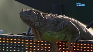 Nieoczekiwany gość na korcie. Ogromna jaszczurka odwiedziła tenisistów (WIDEO)