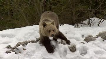 Niedźwiadki na Kasprowym Wierchu. O ich losach zdecydują taternicy
