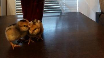 2017-04-18 Pisklęta Tola i Lola. Wykluły się w Wielką Sobotę