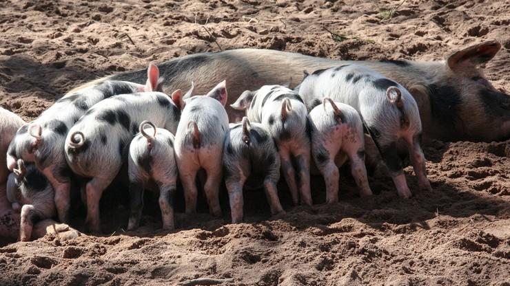 Ferma świń na terenie byłego nazistowskiego obozu w Czechach. Rząd chce ją zlikwidować