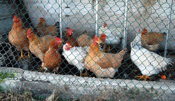 08-11-2016 17:12 Wirus ptasiej grypy w Zachodniopomorskiem. Resort rolnictwa zaleca ostrożność