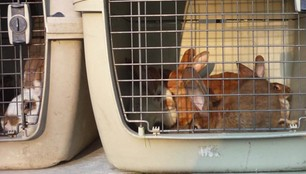 Warszawa: Strażnicy miejscy uratowali 30 królików