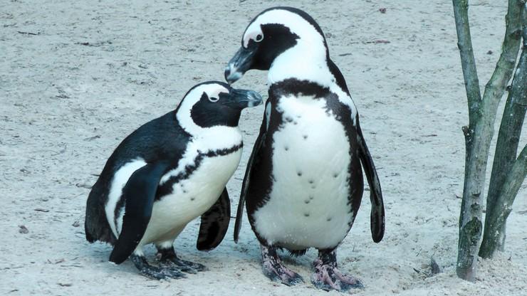 Pomóżcie wybrać imiona dla wrocławskich pingwinów!