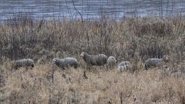 Owce na wiślańskiej wyspie w Warszawie.