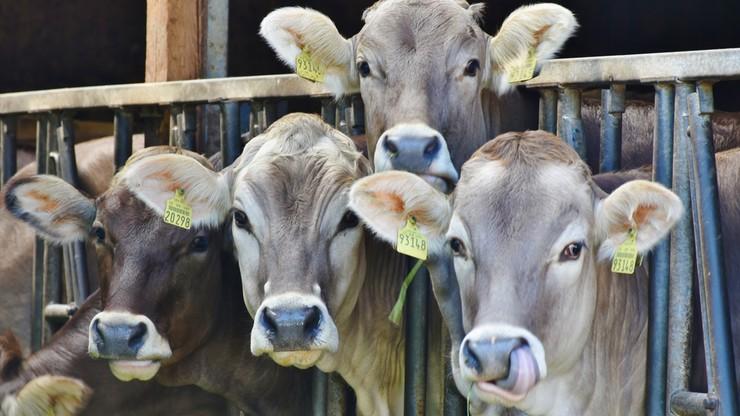 Zredukowali krowie gazy o połowę. A krowie łajno sprzedają