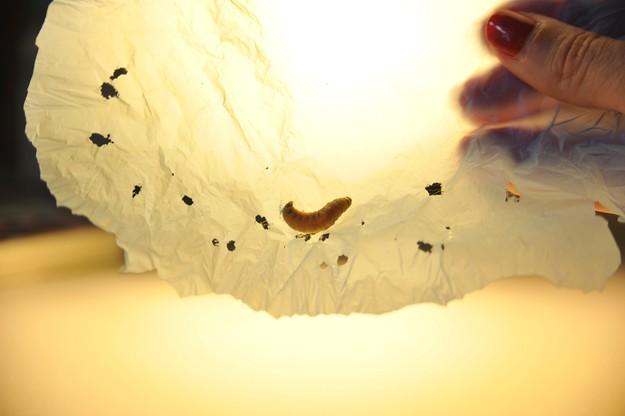 Gąsienice zjedzą folię