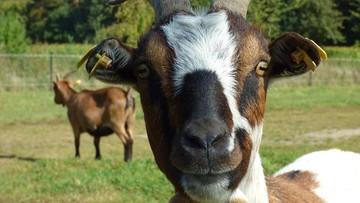06-01-2017 16:59 Kozy mają uratować wydmy na Mierzei Kurońskiej