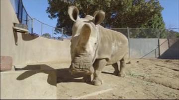 23-11-2015 11:43 Nie żyje jeden z ostatnich przedstawicieli gatunku białych nosorożców