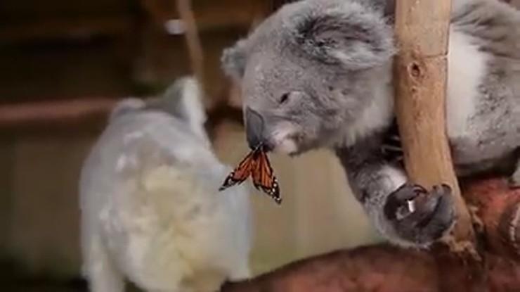 Nagrywali misia koalę, ale takiego filmu się nie spodziewali