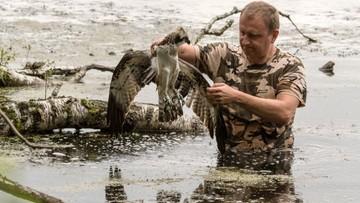 11-09-2017 17:57 Leśnicy szukają sprawcy postrzelenia rybołowa. Ptak jest pod ścisłą ochroną