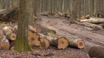 Ekolodzy zawiadomili Komisję Europejską o wycince stu dębów w Puszczy Białowieskiej