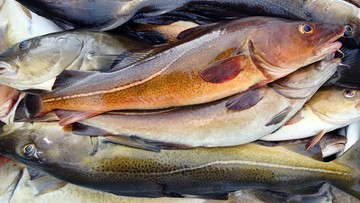 10-10-2016 20:34 Polski rząd z ekologami za ograniczeniem połowów dorszy na Bałtyku