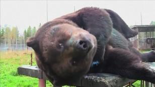 Nawet kilka tysięcy euro za obraz... niedźwiedzia. Miś z Finlandii robi artystyczną karierę