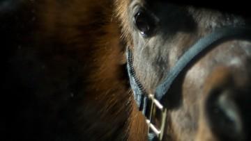 19-08-2016 10:00 Ukradli konia z zoo i go zjedli. Szokujące doniesienia z Wenezueli