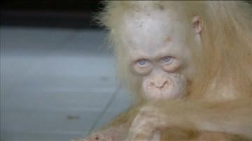 Orangutan-albinos wraca do zdrowia