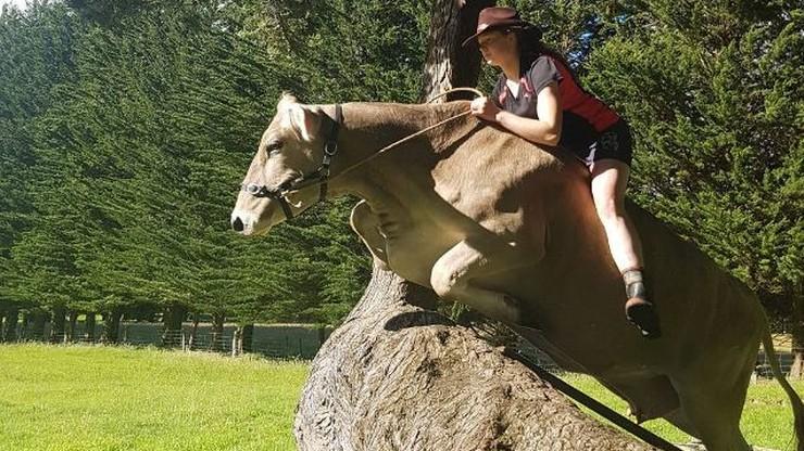 Marzyła o koniu, ale był za drogi. Wytresowała krowę