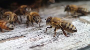 29-02-2016 22:03 50 tys. pszczół w niemieckim parlamencie. Na terenie Bundestagu powstanie pasieka