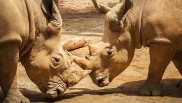 14-03-2017 17:35 21 rogów nosorożców przechwycono na lotnisku w Bangkoku