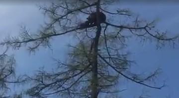 Niedźwiedzica z młodymi wspięła się na szczyt drzewa w centrum miasta