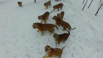 Polowanie na drona. Tak wygląda odchudzanie tygrysów z chińskiego ZOO