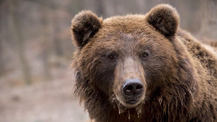 W Bieszczadach niedźwiedź zaatakował mężczyznę