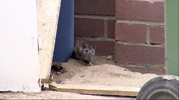 Akcja deratyzacja. Wrocław walczy z plagą szczurów