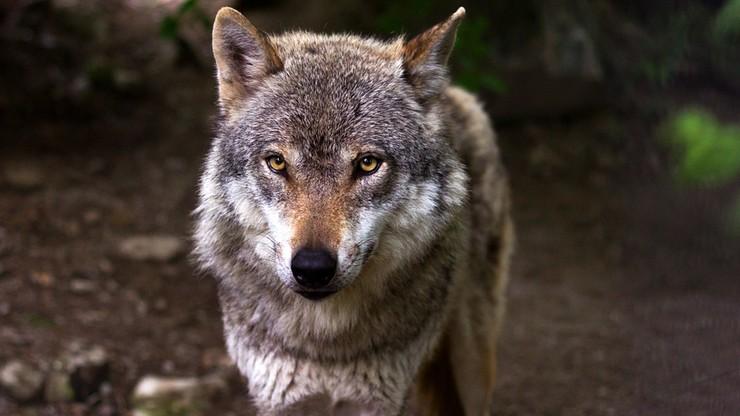 Wykryto handel groźnymi krzyżówkami psów z wilkami. We Włoszech