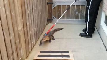 11-08-2017 09:00 Kanada: 11-latka pomyliła aligatora z zabawką ogrodową