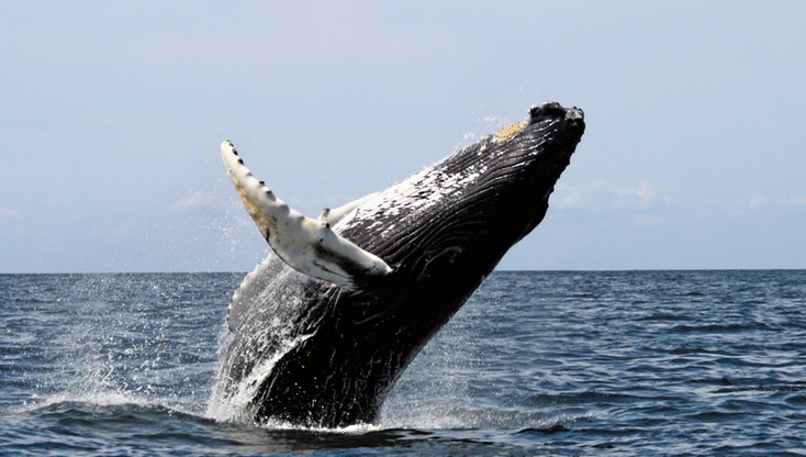 Rosja: 13-metrowy wieloryb ugrzązł w rzece. Trwa akcja ratunkowa