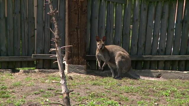 Kangur zamachowiec - demoniczny pomysł australijskiego nastolatka