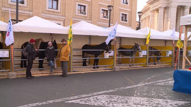 Watykan: zwierzęta hodowlane wypełniły okolice placu Św. Piotra
